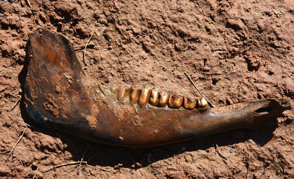 Horse Jaw bone