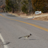 Greater Roadrunner Running