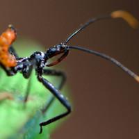 Wheel Bug nymph, Arilus cristatus, Assassin bug