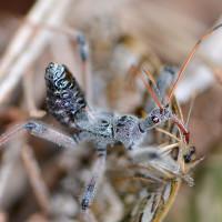 Wheel Bug nymph, Arilus cristatus
