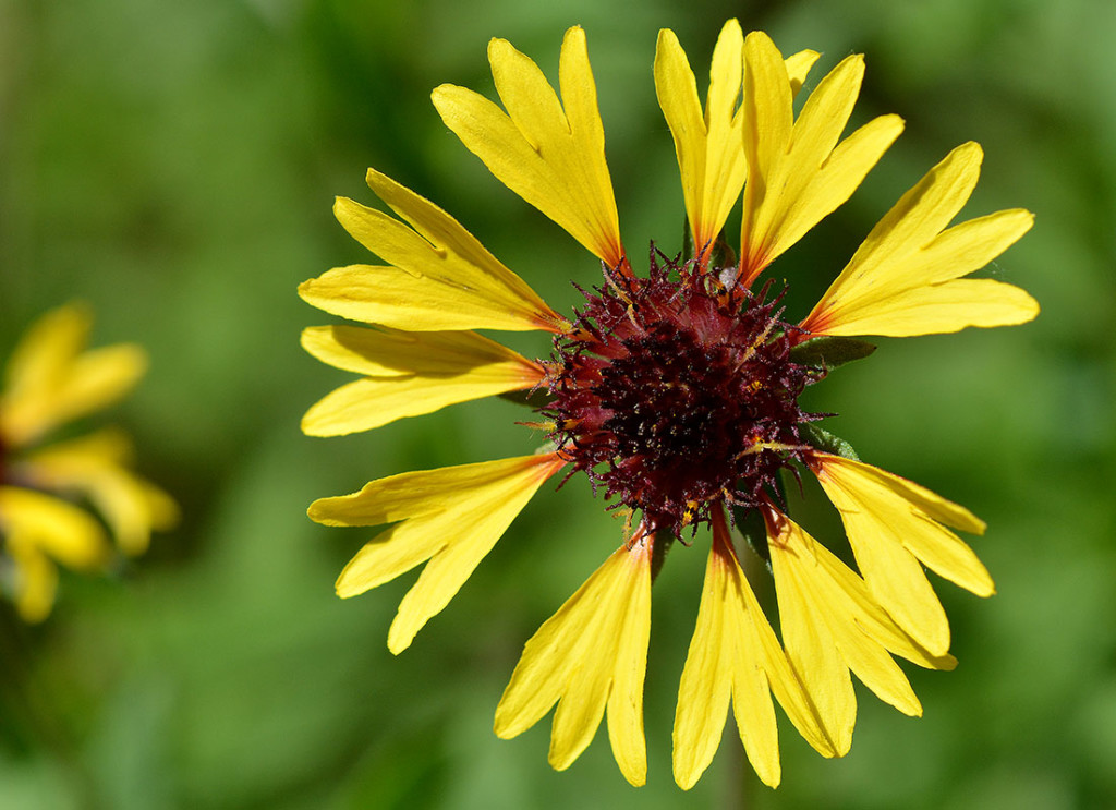 YellowGaillardia