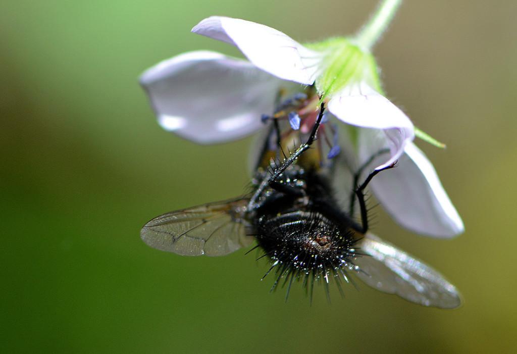 flybutt