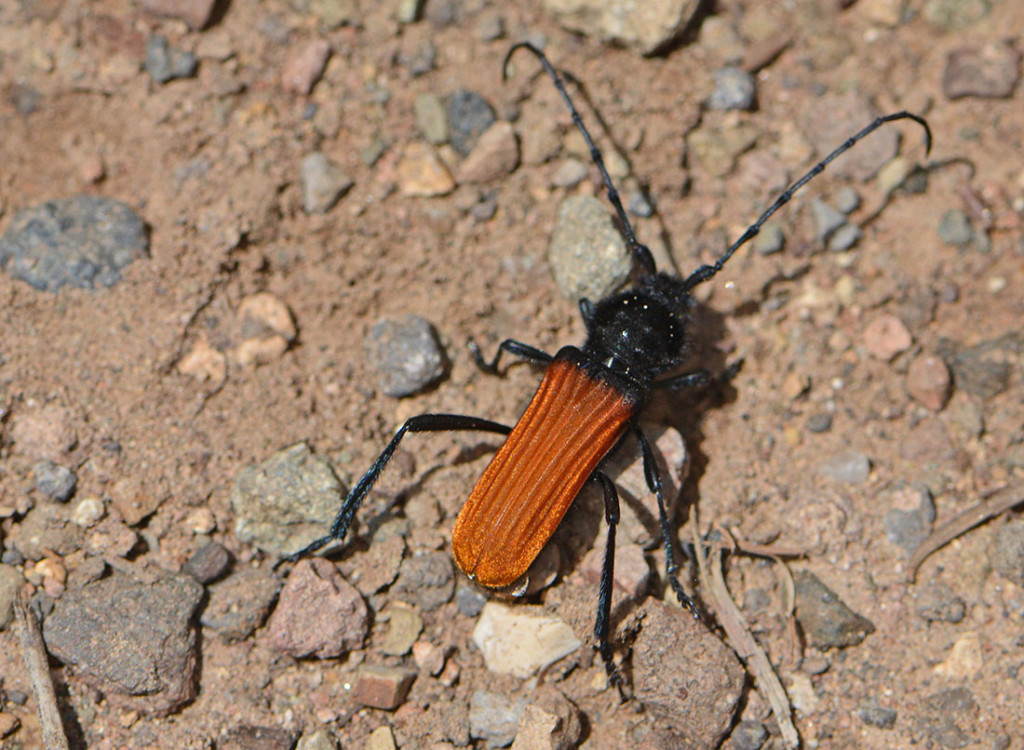 metalliccopperbeetle