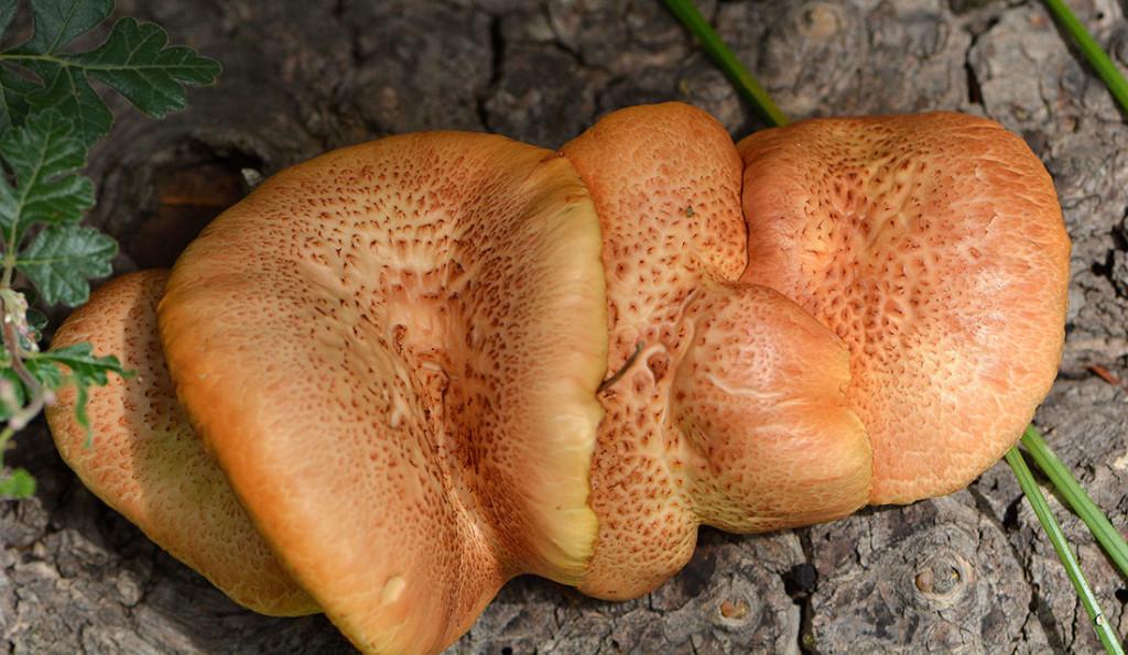 orangegilleddry