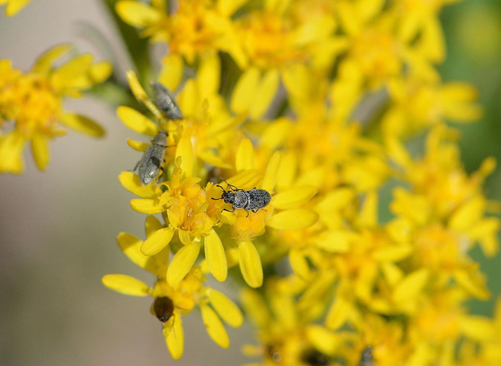 yellow_beetle
