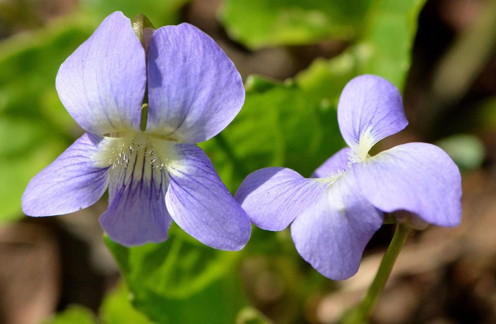 violetlit