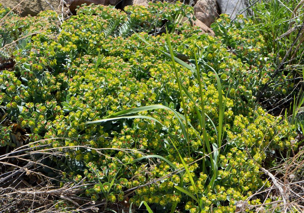Euphorbia_Overview