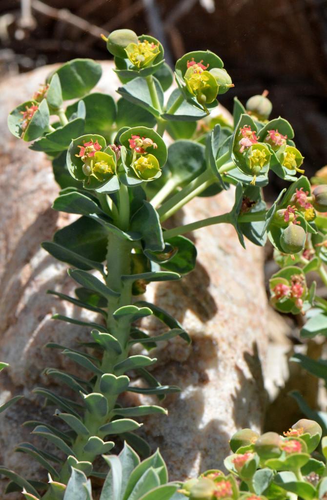 Euphorbia_Structure