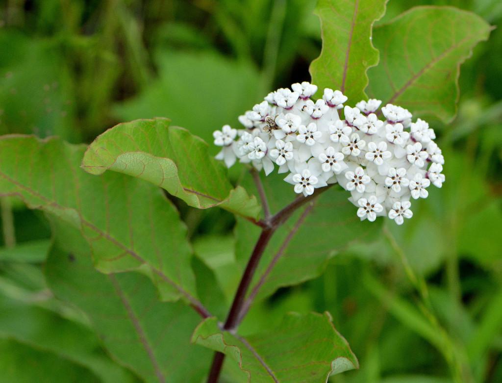 Milkweed2