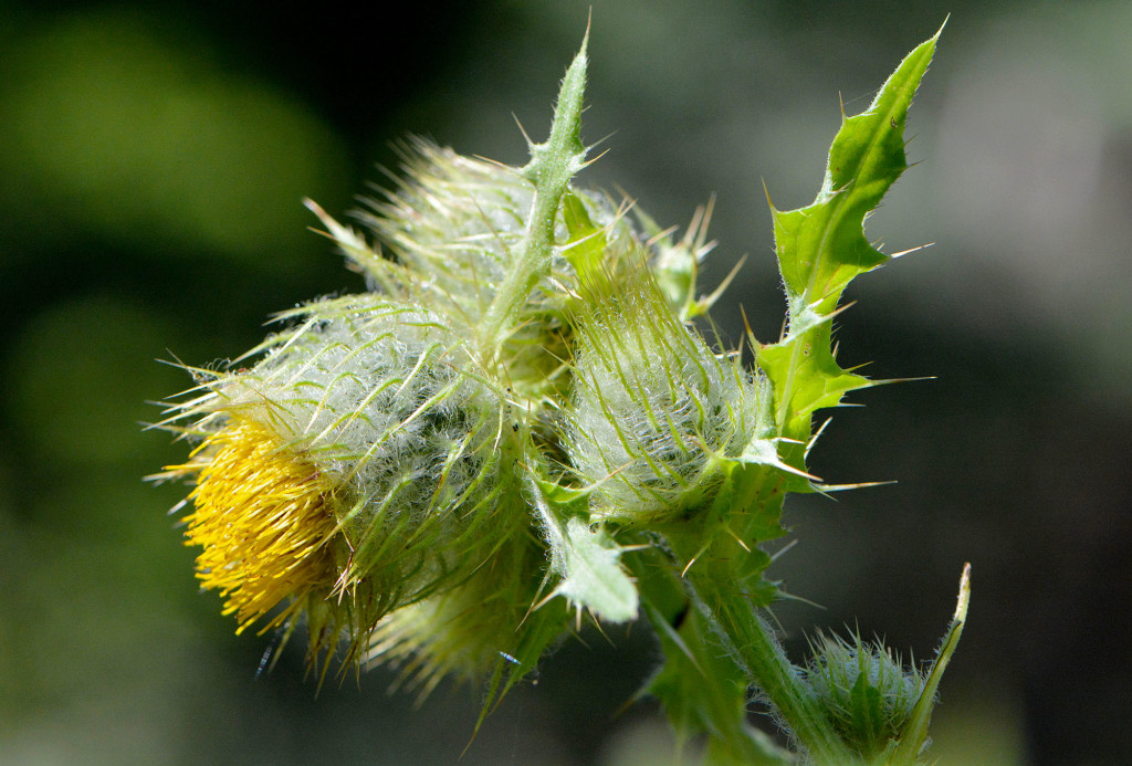 YellowThistle1