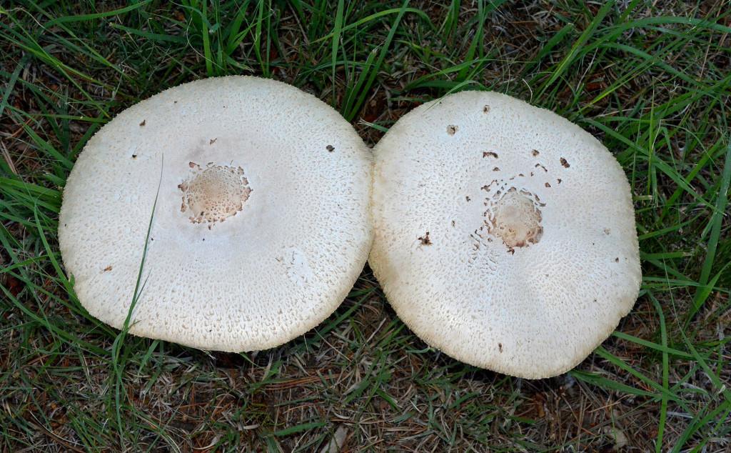 boobshroomtop